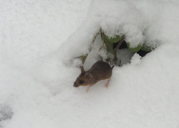 A mouse looks a little lost in the walled garden, Brockwell Park