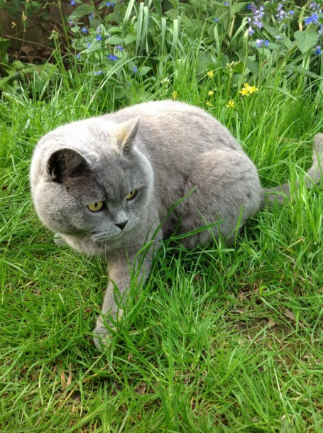 Dino - missing moggy from Raleigh Gardens, Brixton Hill