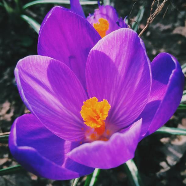 Brixton Flower Watch crocus