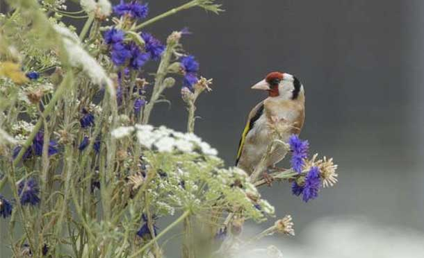 Goldfinch in a London park