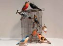 Brixi birds and cage