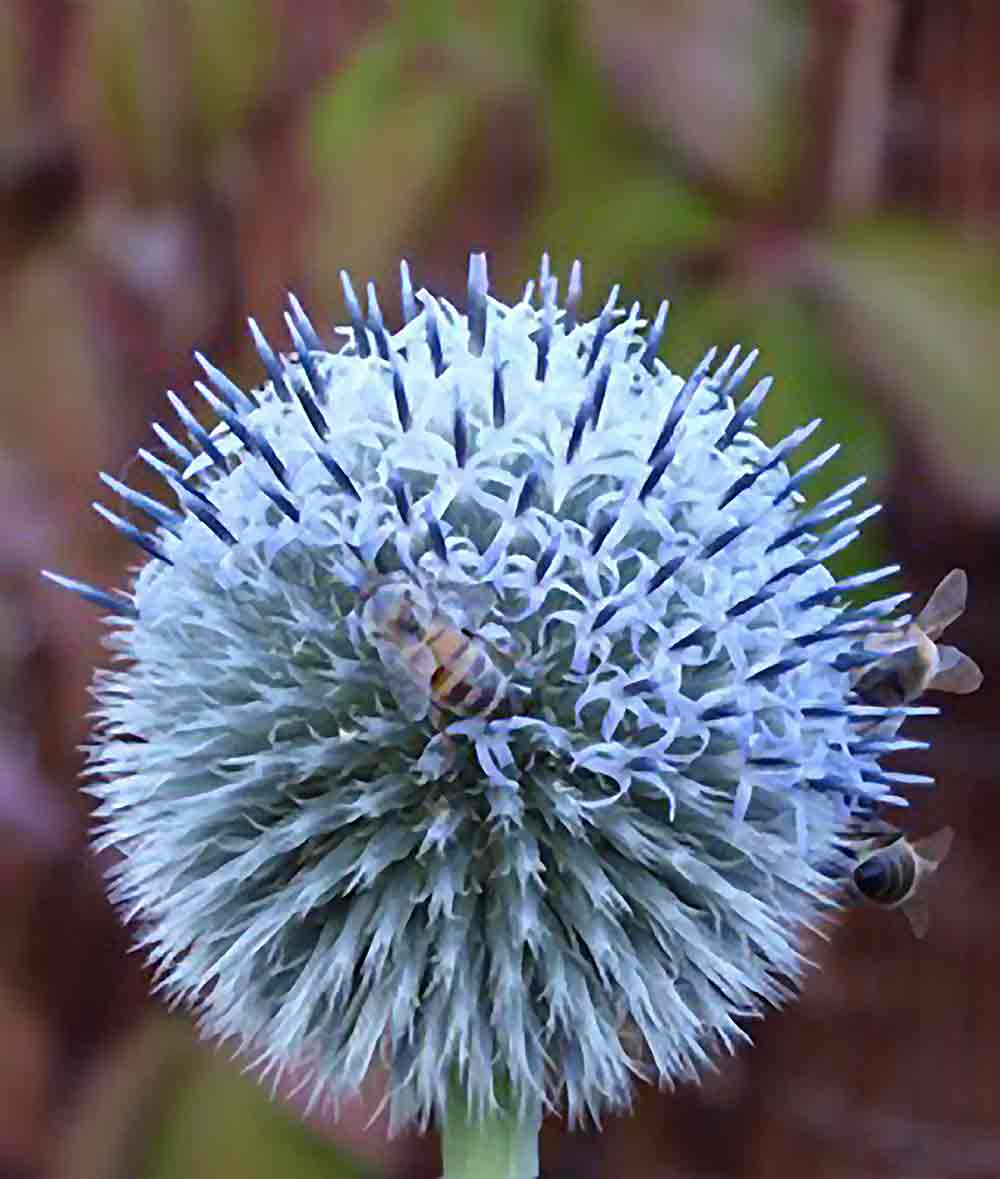 Bees on a globe thistle MICHELE SEDGWICK (self taught)