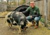 man with pig in urban farm
