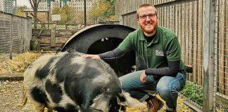 man with pig in urban farm