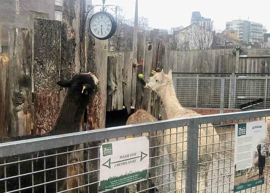 alpacas in an urban zoo